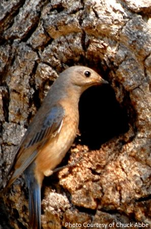 western bluebird nesting in natural tree cavity