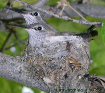 broad tailed hummingbird chicks in nest