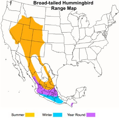 Broad-tailed hummingbird range map.