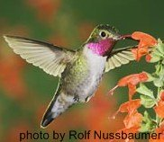 Male Broad-tailed hummingbird hovering at flower.