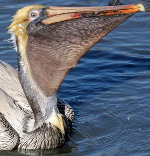 brown pelican uses its bill and pouch like a fish net