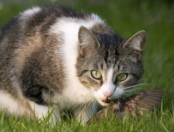 cats kill millions of wild birds