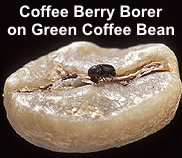 Birds help reduce the coffee berry borer damage to coffee plantations