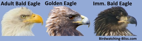 compare eagle beaks for identification