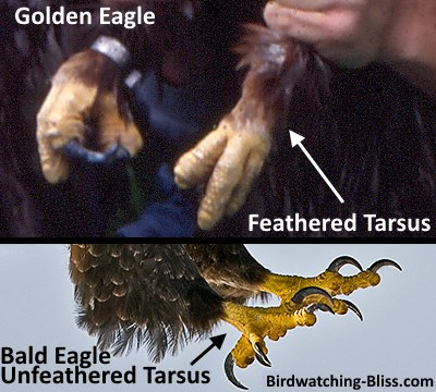 compare eagle tarsi for identification