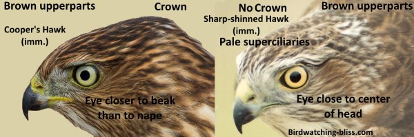 Juvenile Cooper's Hawk vs Juvenile Sharp-shinned Hawk Head ID
