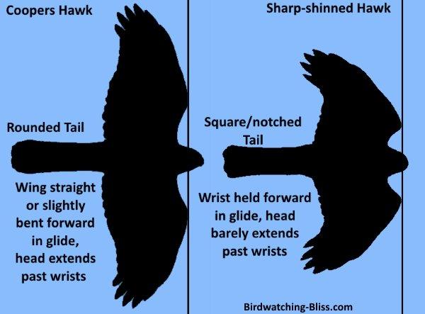 Cooper's Hawk vs Sharp-shinned Hawk Silhouette ID
