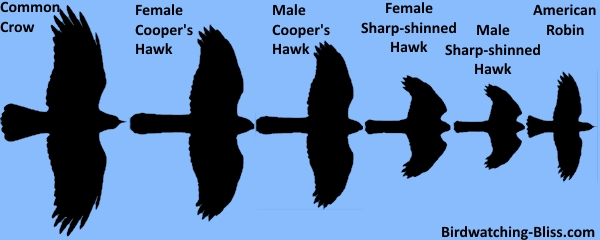 silhouette size comparison of sharp-shinned hawk, cooper's hawk and crow