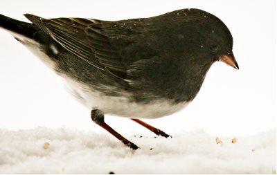 Adult Dark-eyed Junco slate colored variant ground feeding bird eating white millet