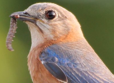 female eastern bluebird carry grub to feed young
