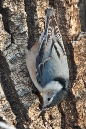 female white breasted nuthatch going down a tree