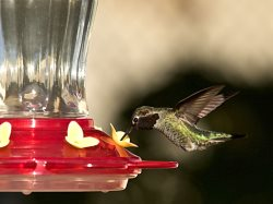 glass hummingbird feeder with perched Anna's Hummingbird