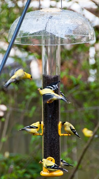 American Goldfinches on Nyjer thistle bird feeder