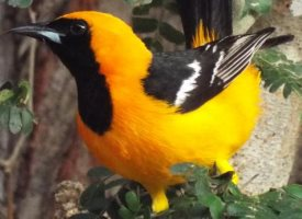 hooded oriole orange marmalade