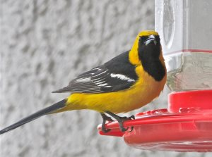 Hooded Oriole on nectar feeder