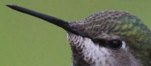 close up of hummingbird bill
