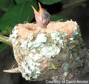 hummingbird nestling chick in a nest
