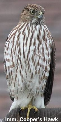 juvenile or immature Coopers Hawk