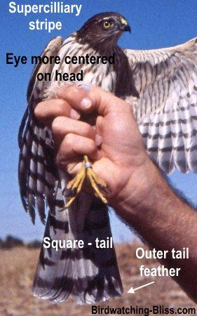 Sharp-shinned Hawk Identification field marks