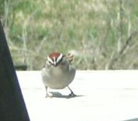 male Chipping Sparrow bird ID