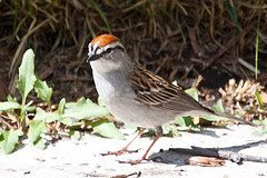 male Chipping Sparrow breeding plumage