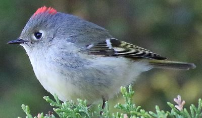 male Ruby-crowned Kinglet with crown exposed