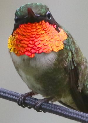 Male Ruby-throated Hummingbird showing throat gorget