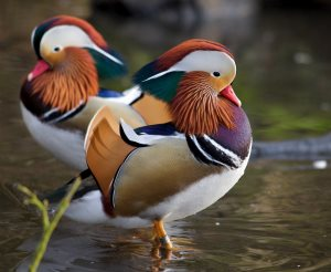 beautiful mandarin duck pair - a great bird watching opportunity