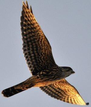 merlin falcon in flight
