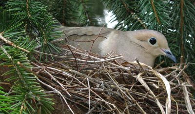 Mourning Dove nest. They do not use bird houses.