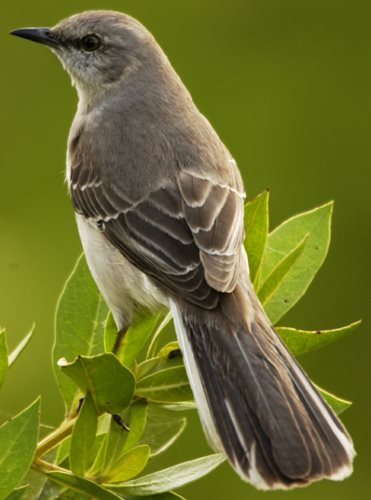 Northern Mockingbird state bird of Arkansas, Florida, Misssissippi, Tennessee and Texas