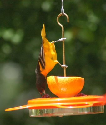 Oriole bird feeder with fruit, nectar, and jelly