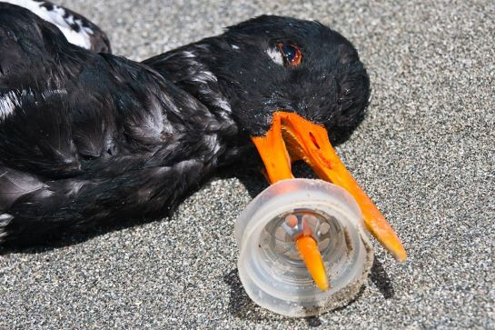 oystercatcher died from plastic ring stuck on bill
