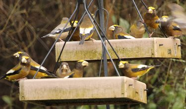 platform bird feeders accomodate large birds like evening grosbeaks