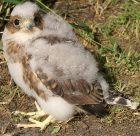 Prairie Merlin Chick