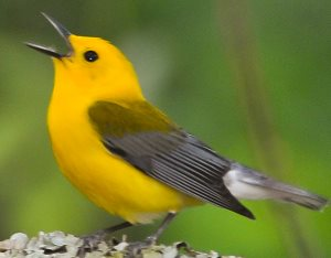 Which canaries sing? Why do they sing? - Quora