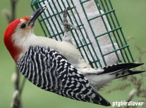 red-bellied woodpecker on suet feeder