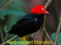 Red-capped Manakin known as the tropical moonwalking dance bird