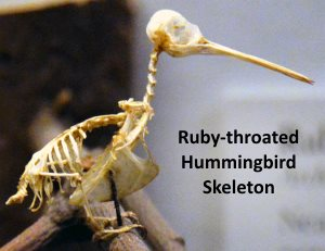 Ruby-throated Hummingbird Skeleton