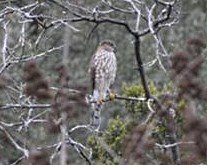 how to ID a Sharp-shinned Hawk from a Cooper's Hawk