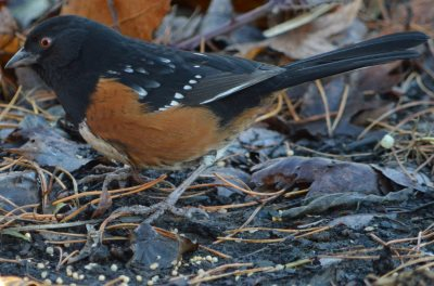 Spotted Towhee is a ground feeding bird that will eat white proso millet