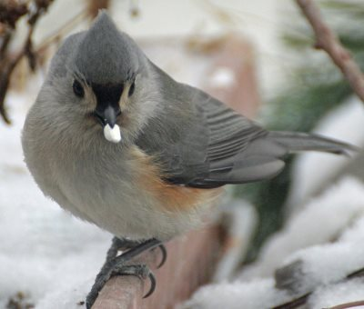 Tufted Titmouse eating safflower seed