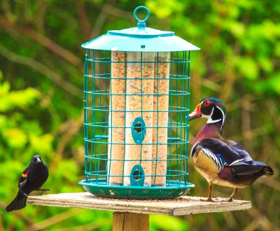 wild bird seed mixes attracts male Red-winged Blackbird and male Wood Duck