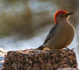 Red-bellied woodpecker feeding on wild bird seed block - make your own