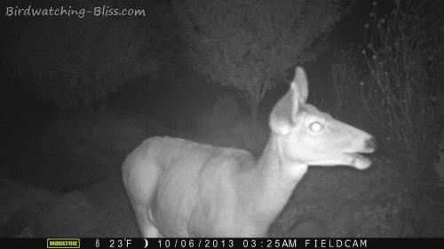 wildlife camera infrared mule deer