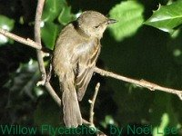 Willow Flycatcher, an Empidonax, is more difficult to ID