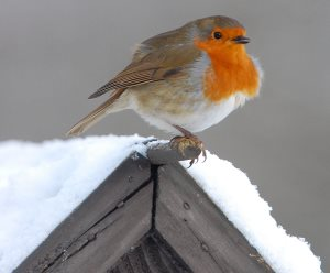 robin on winter bird house plans