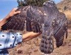 Northern Goshawk adult molting