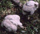Northen Goshawk chicks