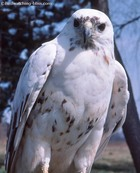Albino Red-tailed hawk.jpg